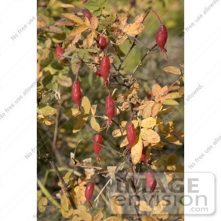 #19829 Photo of Rosehips of the Prickly Wild Rose, Prickly Rose, Arctic Rose (Rosa acicularis) by JVPD