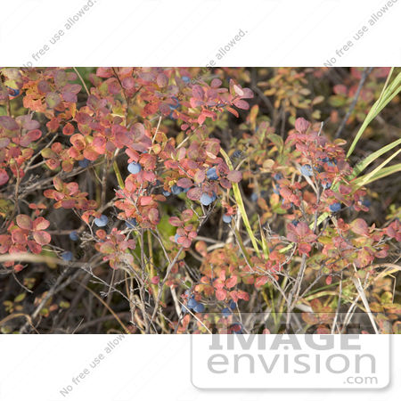 #19842 Photo of Blueberries Growing on a Shrub With Autumn Foliage by JVPD