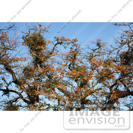 #19869 Stock Photography: Bundles of Mistletoe on Oak Tree Branches in Autumn by Jamie Voetsch