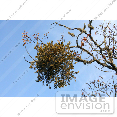 #19870 Stock Photography: Mistletoe on an Oak Tree Branch by Jamie Voetsch