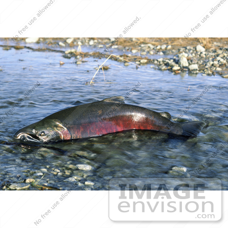 #20927 Stock Photography of a Chinook Salmon (Oncorhynchus tshawytscha) by JVPD