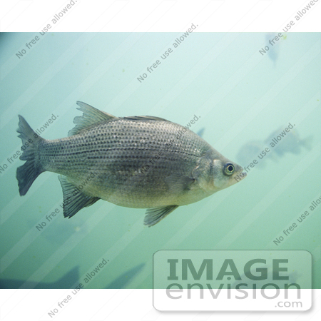 #20930 Stock Photography of a White Bass Fish (Morone chrysops) by JVPD