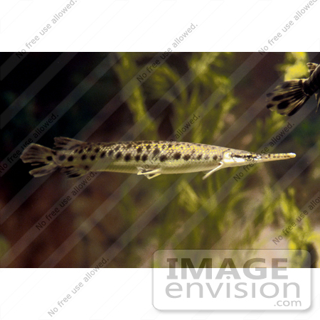 #20933 Stock Photography of a Spotted Gar Fish (Lepisosteus oculatus) by JVPD