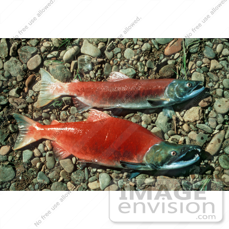 #20936 Stock Photography of Male and Female Red Salmon, Sockeye Salmon by JVPD