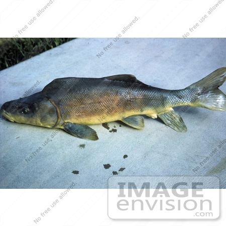 #20941 Stock Photography of a Razorback Sucker Fish (Xyrauchen texanus) by JVPD