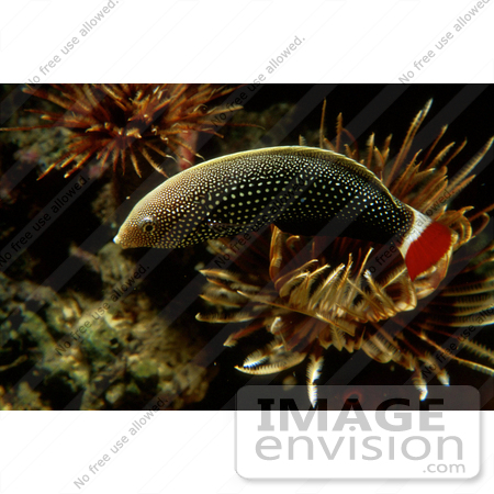 #20942 Stock Photography of a Red-tailed Wrasse Fish (Labrus mixtus) by JVPD