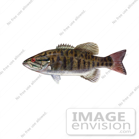 #20949 Clipart Image Illustration of a Smallmouth Bass Fish (Micropterus dolomieu) by JVPD