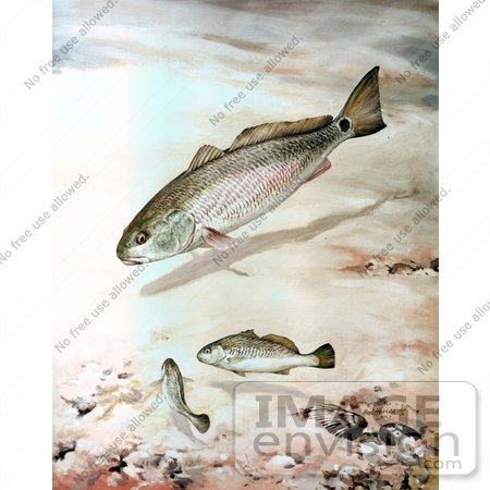 #20955 Clipart Image Illustration of Channel Bass Fish Swimming by JVPD