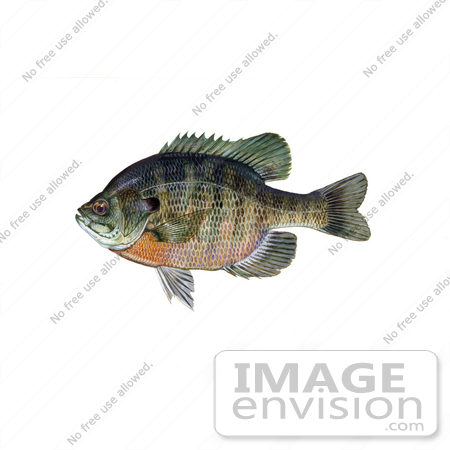 #20960 Clipart Image Illustration of a Bluegill Fish (Lepomis macrochirus) by JVPD
