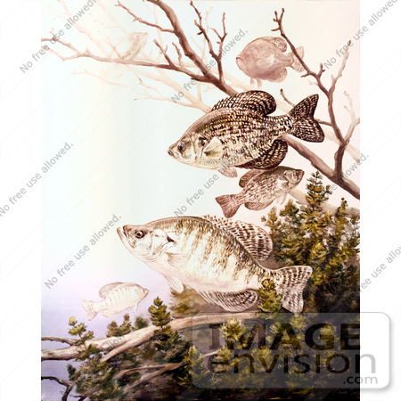 #20976 Clipart Image Illustration of Black Crappie and White Crappie Fish Swimming by JVPD