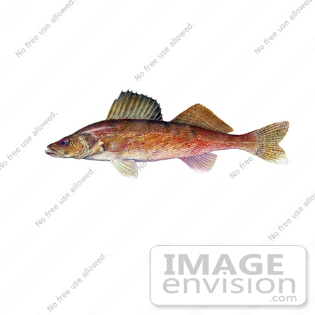#20977 Clipart Image Illustration of a Walleye Fish (Stizostedion canadense) by JVPD