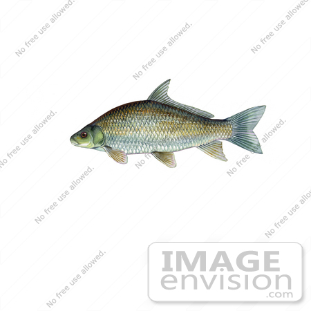 #20981 Clipart Image Illustration of a Smallmouth Buffalo Fish (Ictiobus bubalus) by JVPD