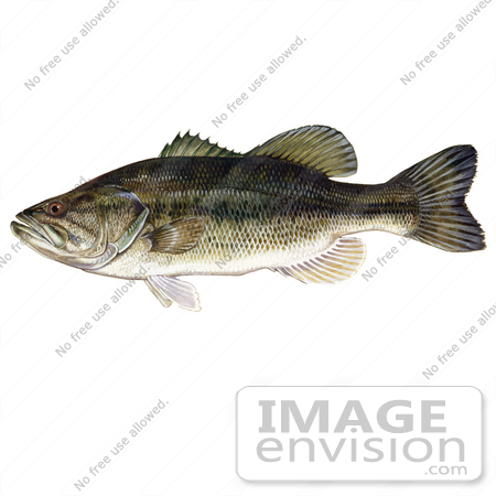 #20994 Clipart Image Illustration of a Largemouth Bass Fish (Micropterus salmoides) by JVPD