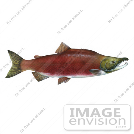 #20997 Clipart Image Illustration of a Sockeye Salmon Fish (Oncorhynchus nerka) by JVPD