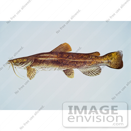 #20998 Clipart Image Illustration of a Flathead Catfish (Pylodictis olivaris) by JVPD