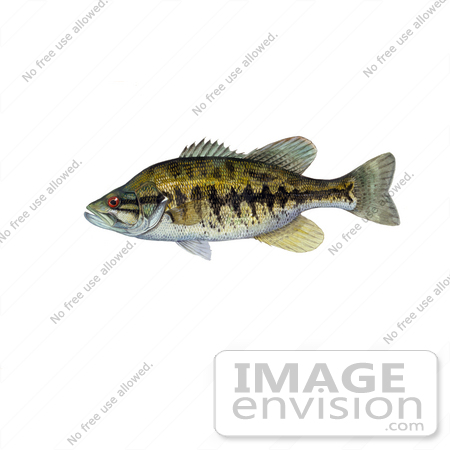 #20999 Clipart Image Illustration of a Suwannee Bass Fish (Micropterus notius) by JVPD