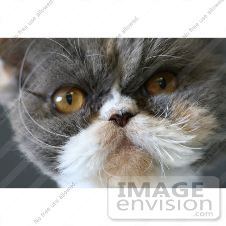 #21 Picture of a Persian Cat Face Closeup by Kenny Adams