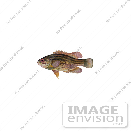 #21003 Clipart Image Illustration of a Mud Sunfish (Acantharchus pomotis) by JVPD