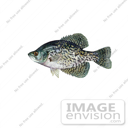 #21005 Clipart Image Illustration of a Black Crappie Fish (Pomoxis nigromaculatus) by JVPD