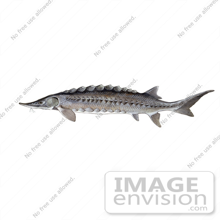 #21008 Clipart Image Illustration of an Atlantic Sturgeon Fish (Acipenser oxyrhynchus) by JVPD