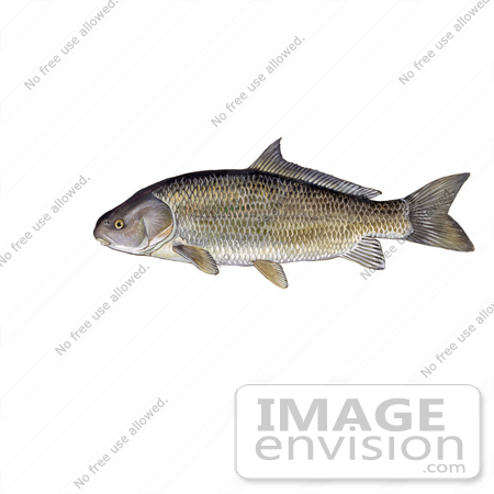 #21009 Clipart Image Illustration of a Black Buffalo Fish (Ictiobus niger) by JVPD