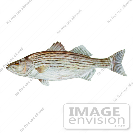 #21012 Clipart Image Illustration of a Striped Bass Fish (Morone saxatilis) by JVPD