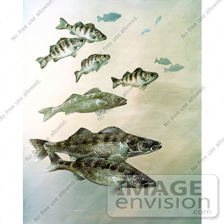 #21013 Clipart Image Illustration of Walleye, Yellow Perch and Pike Fish Swimming Together by JVPD