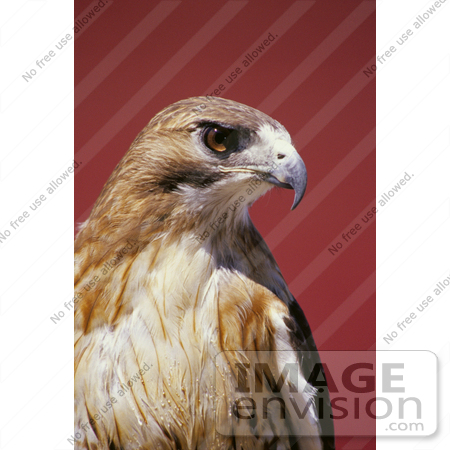 #21524 Stock Photography of a Chickenhawk, or Red-Tailed Hawk (Buteo jamaicensis) Bird of Prey by JVPD