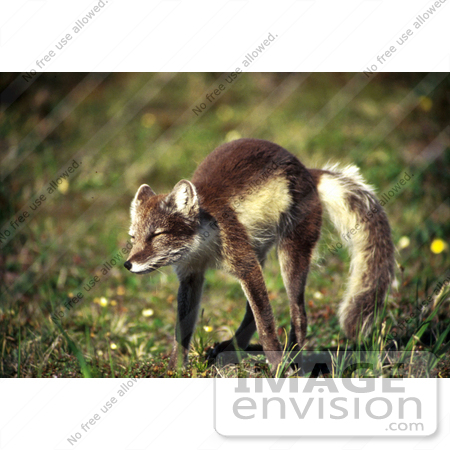 #21537 Wild Animal Stock Photography of a Cute Arctic Fox Stretching, Alaska by JVPD