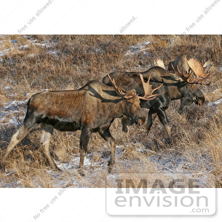 #21543 Wildlife Stock Photography of a Pair of Bull Moose (Alces alces) in Chugach State Park, Alaska by JVPD