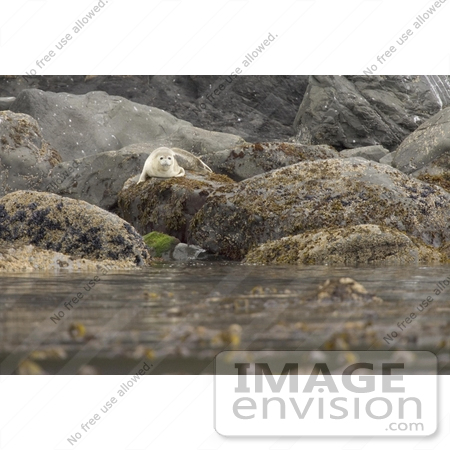 #21554 Stock Photography of a Lone Seal on a Rock at Peninsula Island, Aleutian Islands, Alaska Maritime National Wildlife Refuge by JVPD