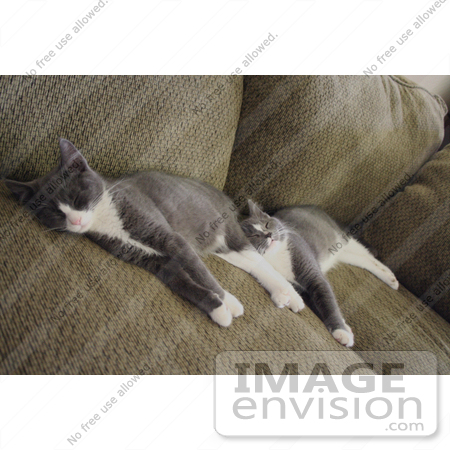 #236 Image of Two Gray Tuxedo Kittens Sleeping by Jamie Voetsch