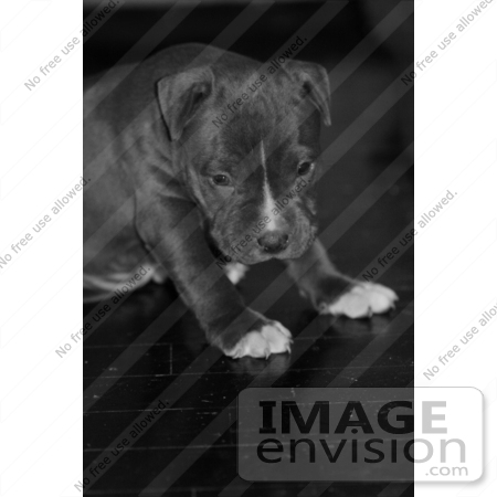 #269 Picture of a Pit Bull Puppy Dog by Kenny Adams
