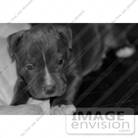 #270 Black and White Picture of Gray Pit-Bull Dog by Kenny Adams