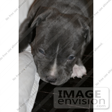 #271 Picture of a Pit Bull Puppy by Kenny Adams
