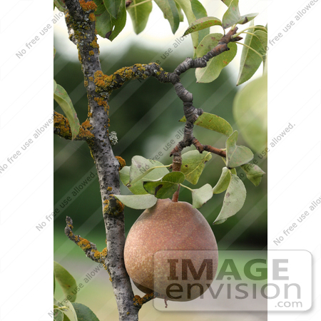 #278 Picture of a Pear on a Pear Tree by Kenny Adams
