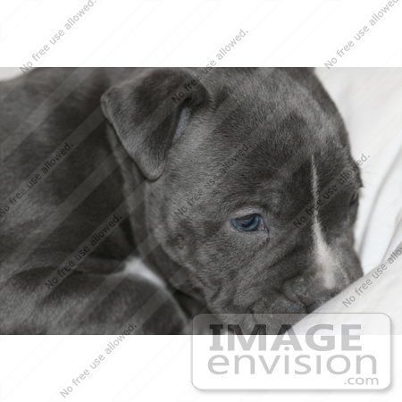 #286 Photography of a Pit Bull Puppy by Kenny Adams