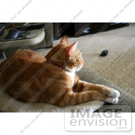 #299 Photo of an Orange Cat Resting With His Paws Crossed by Jamie Voetsch