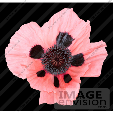 #313 Picture of a Pink Oriental Poppy by Kenny Adams