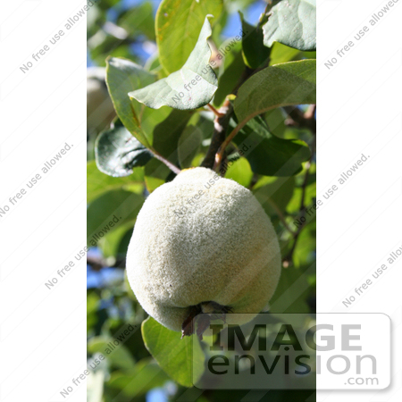 #349 Photo of a Fuzzy Pear on a Pear Tree by Jamie Voetsch