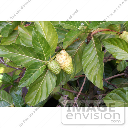 #36549 Stock Photo of a Noni Plant (Morinda Citrifolia) With Two Fruits Growing On The Branches by Jamie Voetsch