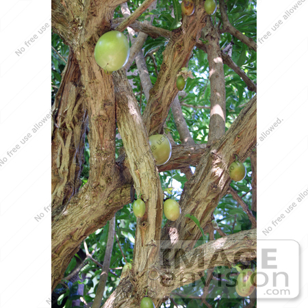 #36550 Stock Photo of Fruits Growing On A Breadfruit Tree (Artocarpus Altilis) by Jamie Voetsch