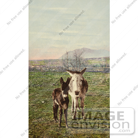 #40663 Stock Photo Of Two Curious Donkeys Staring At The Viewer In A Pasture, Colorado by JVPD