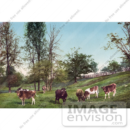 #40721 Stock Photo Of Grazing Cattle In A Grassy Green Pasture by JVPD