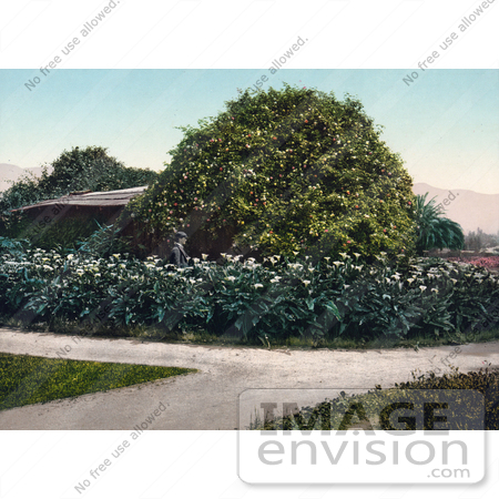#40877 Stock Photo Of A Man Walking In A Garden Of Calla Lilies Around A Bush Of Gold Of Ophir Roses, Carmelita, Pasadena, California by JVPD