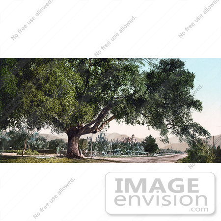 #40963 Stock Photo Of A Large Tree On The Side Of A Road, Orange Grove Avenue In Pasadena, California by JVPD