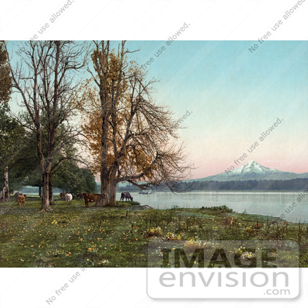 #40968 Stock Photo Of Cattle Grazing On The Banks Of The Columbia River, With Mt Hood In The Distance by JVPD