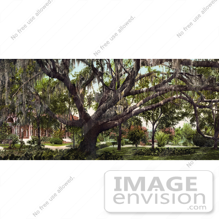 #41072 Stock Photo Of Spanish Moss On The Old Oak Tree At The Tampa Bay Hotel In Florida by JVPD