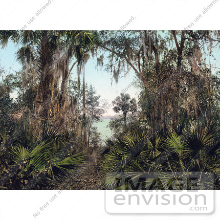 #41082 Stock Photo Of Palms Along The Shore Of The Saint Johns River In Florida by JVPD