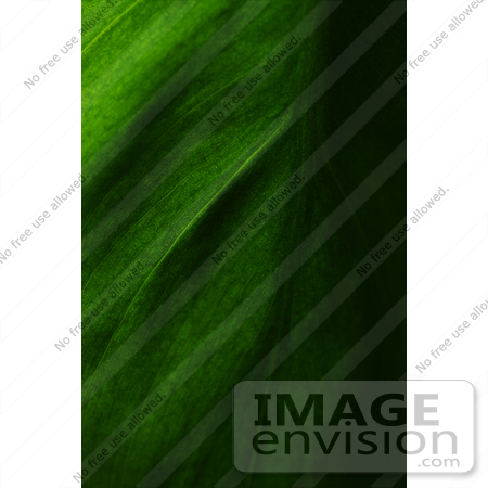 #425 Plant Picture of the Cordatum Philodendron Leaf by Kenny Adams